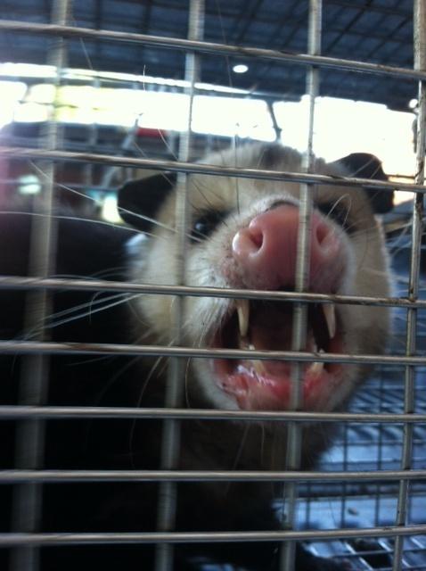 possum exclusion